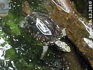 Strahlen-Dreikielschildkröte, 26. Dezember 2010