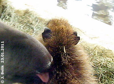 Während die grauen Riesen draußen herumtoben, schmust dieser Tapir lieber mit einem Capybara in der warmen Stube, 23. Jänner 2011