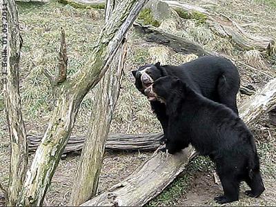 Brillenbären Juan und Blacky, 1. März 2011