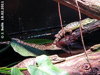 Krokos-Babys, 18. Februar 2011