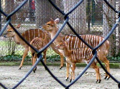Nyala mit Mama, 18. Februar 2011