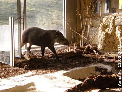 Tapir auf Besuch bei den Ameisenbären, 13. Februar 2011