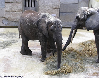 Mongu (li, man beachte ihre elegante Beinhaltung!) und Drumbo (re), 29. März 2011