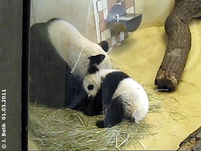 ... da nützt auch Kuscheln nix! Fu Hu und Yang Yang, 1. März 2011 (Screenshot aus Video)