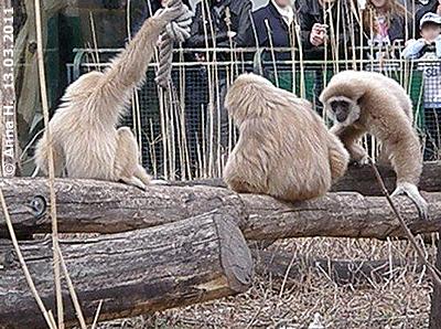 E.T. (li) mit Mama Sipura und Schwester Java, 13. März 2011
