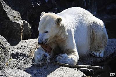 Eisbärbub Knut am Tag, als er über die Regenbogenbrücke ging, 19. März 2011