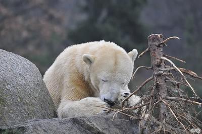 Knut, 16. März 2011