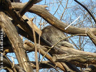 Nickerchen in der Nachmittagssonne, Baumstachler Olivia, 22. März 2011