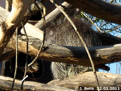 Olivia schläft draußen, Ursi in der Box (Pfeil), 22. März 2011