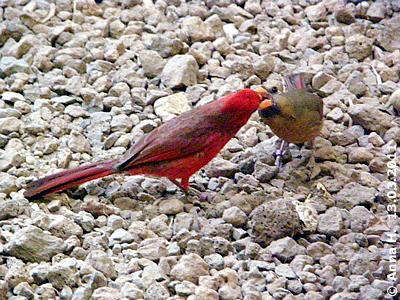 Herr (li) und Frau (re) Roter Kardinal, 13. März 2011