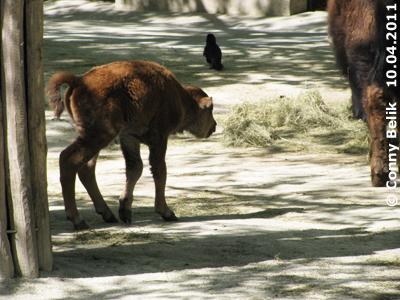 Noch etwas wackelig auf den Beinchen! Bison-Baby, einen Tag alt, 10. April 2011