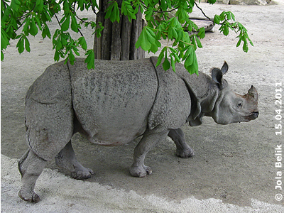 ... und muß immer wieder nachschauen, wo sich das freche Nashorn grad versteckt! Jange, 15. April 2011