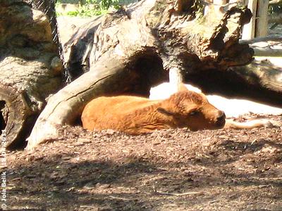 Das Herumhüpfen macht ganz schön müde! Menewa, 10 Tage alt, 18. April 2011