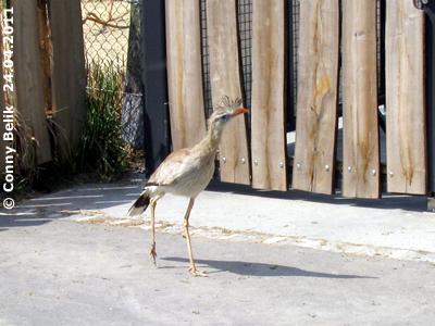 ... Wann kommt endlich wer und sperrt das Tor auf? Seriema vor dem Tor zum Südamerika-Park, 24. April 2011