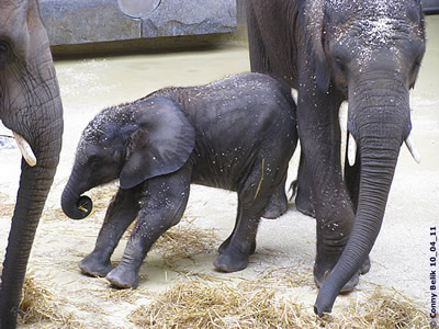 Hoppala, so war das aber nicht geplant! Tuluba (li) und Kibo (re), 10. April 2011