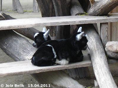 Die schwarz-weißen Zwillinge, 15. April 2011