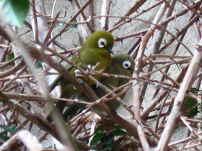 Kikuyu Brillenvögel, 17. Mai 2011