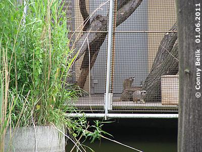 Die Erdmännchen wohnen derzeit im Außenkäfig bei der Rückseite des Gibbon/Katta-Hauses,
