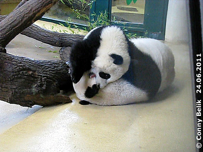 Autsch! Baby Monster Fu Hu, 10 Monate alt, voll in Fahrt, 24. Juni 2011