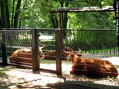 Schottische Hochlandrinder, Tiergarten Nürnberg, 22. Juni 2011