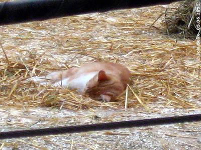 Die Elis sind draußen, da genißet Haus- und Hof-Katze Rosi die Ruhe in ihrem Reich, 5. Juni 2011