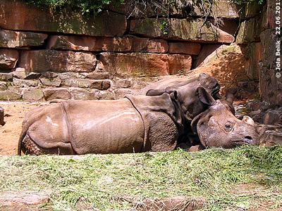 Sei mein Kopfpolster, Mama! SEto Paitala (li) und Mama Purana (re), Tiergarten Nürnberg, 22. Juni 2011