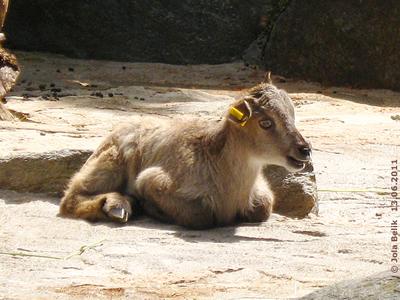 Baby-Tahr mit einem Stehohr und einem Kippohr, 13. Juni 2011