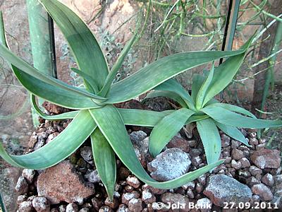 Aloe (li) und Algave (re), Wüstenhaus, 27. September 2011