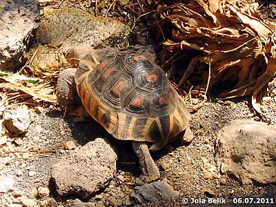 Schnabelbrust-Schildkröte, Wüstenhaus, 6. Juli 2011