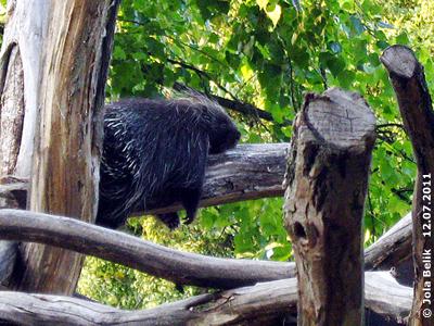 Baumstachler Ursi, 12. Juli 2011