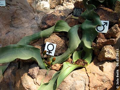 Welwitschia, Wüstenhaus, 6. Juli 2011
