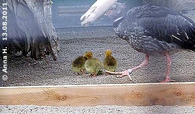 LAnge wird die LAtte die Minis aber nicht davon abhalten, das gesamte Gehege zu erkunden! Tschaja-Küken, wenige Tage alt mit Mama Tschaja, 13. August 2011