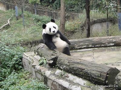 ... ist unverkennbar! Fu Long in Bi Feng Xia, 23. September 2011