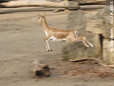 Dieses HErumgebrülle und -getrample nervt echt! Hier bringt sich eine Hirschziegenantilope mit gekonnten Luftsprüngen in Sicherheit, 11. Oktober 2011