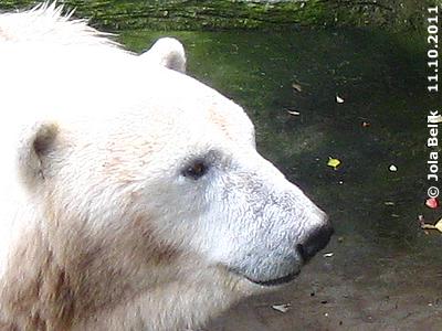 Eisbärin Tania an ihrem letzten Tag in Schönbrunn, 11. Oktober 2011