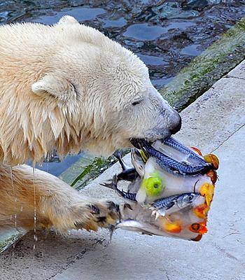 Das schmeckt lecker! Tania mit den Leckereie in Eis im Zoo Budapest, 18. Oktober 2011 (Foto: Bagosi Zoltán / Zoo Budapest)