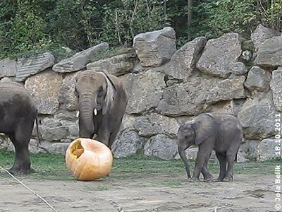 Ja, der Kürbis läßt sich auch rollen, Numbi (li) und Tuluba (re), 18. Oktober 2011