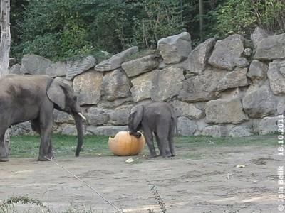 Sogar der kleine Tuluba probiert, ob er den Kürbis zerkleinern kann, 18. Oktober 2011