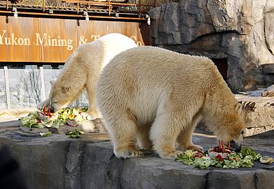 Alles Gute zum Geburtstag, Arktos (re) und Nanuq (li)! 28. Novemeber 2011 (Foto: Zoo Hannover)