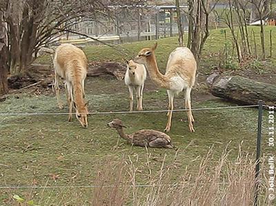 Baby #1 (mitte) und ihre Mama (li) trauen sich auch näher kommen, das Baby ist hier 15 Minuten alt ...