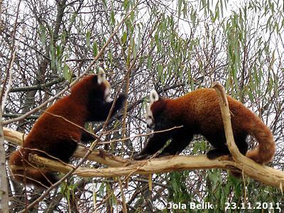 ... vorher gibt's noch Haue! Panda-Weibchen (li) und Panda-Männchen (re), 23. November 2011