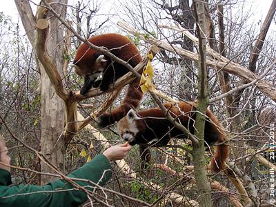 Natürlich gibt's für ihn auch noch ein Naschi! Panda-Männchen (re), Panda-Weibchen (li), 23. November 2011