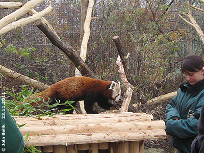 Ich komme schon! Panda-Männchen, 23. November 2011