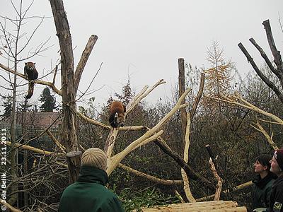 """Kaum sind die """"Futterlieferanten"""" da, sit das Panda-Männchen schon utnerwegs (sie bleibt noch abwartend links oben sitzen), 23. November 2011"""