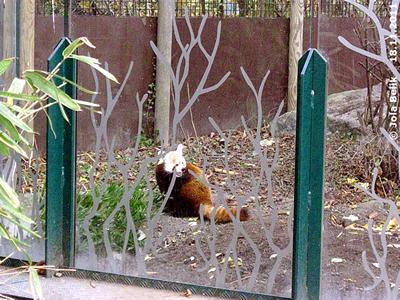 Der Bambus hier schmeckt auch gut! Katzenbär-Männchen im neuen Gehege, 18. November 2011