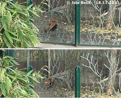 ... ich verzieh mich lieber, sicher ist sicher! Katzenbär-Männchen im neuen Gehege, 18. November 2011