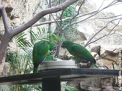 Rotspiegel-Amazonen, 30. Oktober 2011