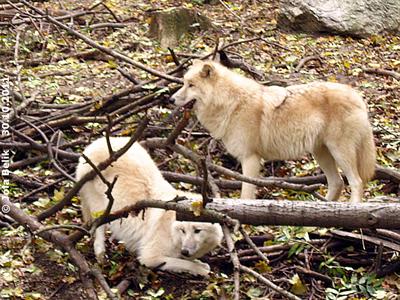 Die schöne Inja (li) und ihr Alpha-Männchen Ide, 30. Oktober 2011