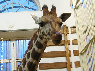 Giraffen-Bub Arusha, 16. Dezember 2011