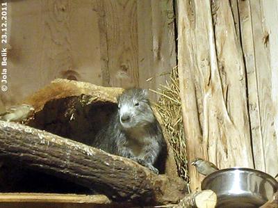 Ich bin satt, ihr könnt den rest haben! Hutiaconga im Giraffenhaus, 23. Dezember 2011